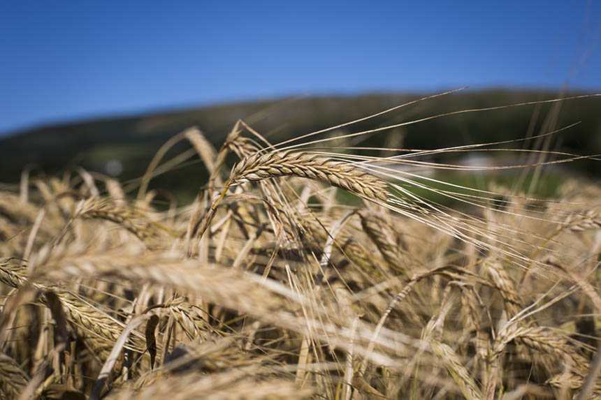 Fife barley ready to harvest. Photograph © Colin McPherson, 2015 all rights reserved.