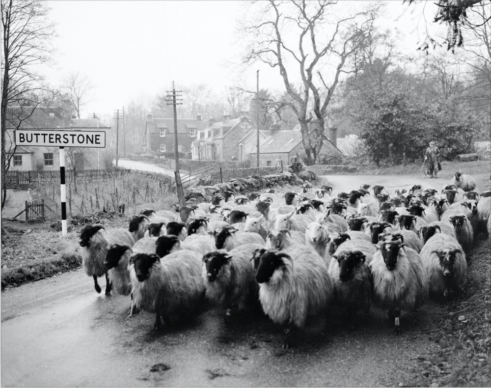 Shepherd moving blackface sheep at Laighwood, Butterstone, Perthshire. Image by John Watt between 1959 and 1961, © Perth Museum and Art Gallery archive.